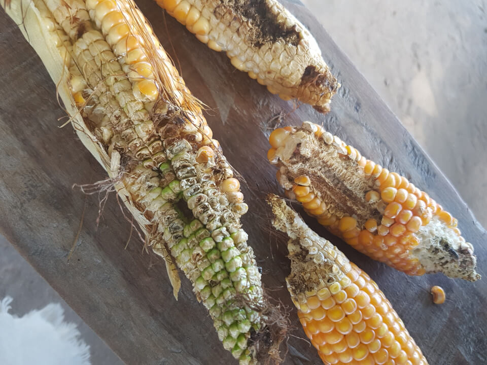 Ears of maize ravaged by stalk borer.