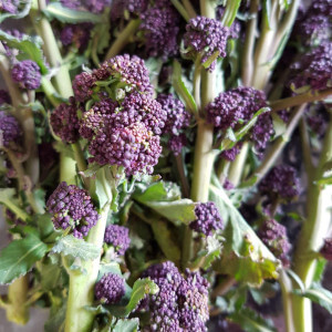 Purple broccoli.